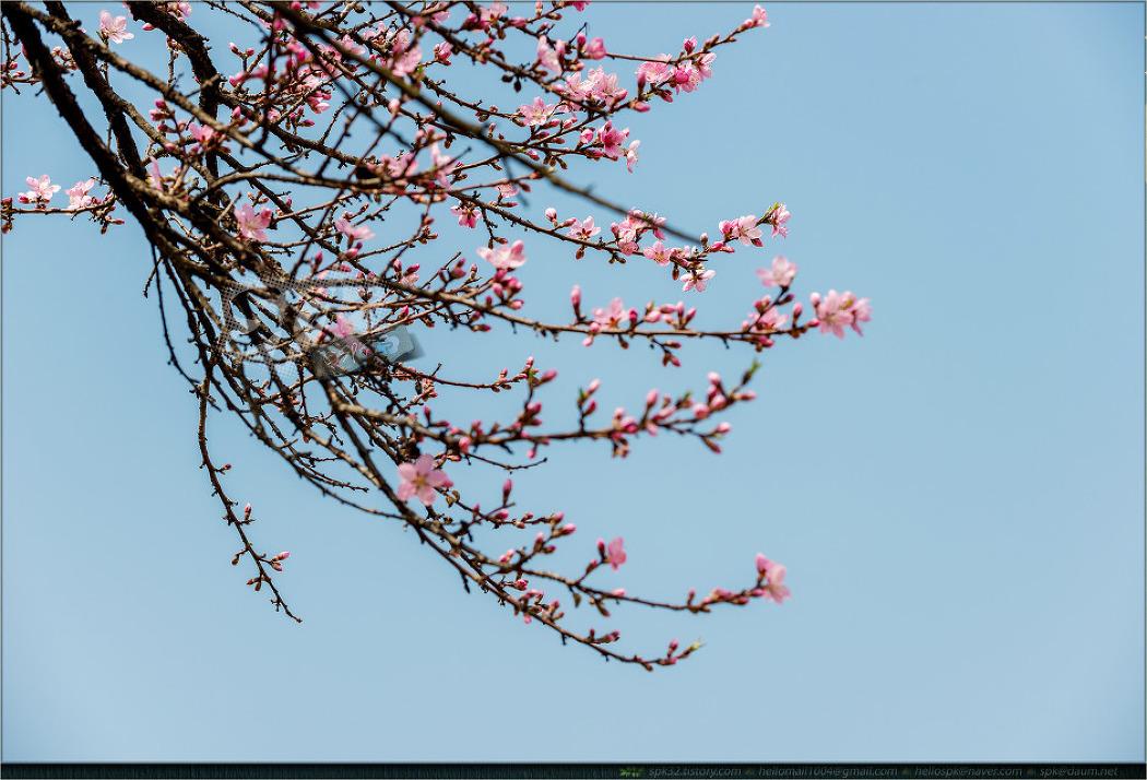꽃 - 78 (복사꽃, 이팝나무, 루피너스, 마가렛)