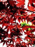 [NEXUS S] 나뭇잎....