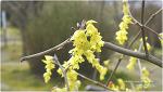 한국특산 노랑 봄꽃 히어리
