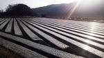 [포토에세이] 겨울 농촌 풍경, 오후 햇살이 양파를 덮은 비닐을 뚫다