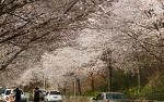 섬진강변 벚꽃축제 2017 구례 산수유축제에 이어 봄꽃여행 떠나세요