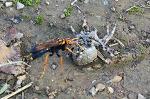 대모벌의 왕거미 사냥, 깡충거미