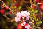 분홍 명자나무꽃