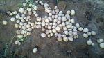 [농사일기] 고생 끝에 얻은 즐거움, 지난 봄 심었던 감자를 수확하였습니다 /농민의 땀고 노력으로 얻은 결실, 농작물은 생명입니다/감자 수확/죽풍원의 행복찾기프로젝트
