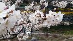 [함양여행] 함양에서도 열리는 벚꽃축제, 제16회 함양 백운산 벚꽃축제/함양여행코스/함양 가볼만한 곳 추천/함양 벚꽃축제/함양 백전면 벚꽃축제