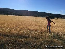 황금빛 물결 넘치는 스페인 고산의 밀밭