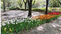 도산공원의 튤립따라 봄을 걷다.