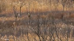 쇠부엉이 Short-eared Owl