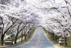 에버랜드, 봄의 새하얀 유혹 '벚꽃 축제' 오픈