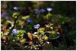 [3월, 푸른색] 봄날은 간다-큰개불알꽃, 봄까치꽃