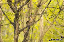 콩새(hawfinch) 수컷