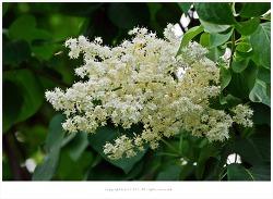 [5-6월 흰꽃나무] 개회나무