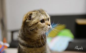 이웃의 고양이 스코티쉬폴드