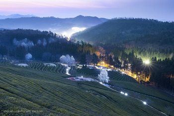 Sunrise of Green Tea Farmland.