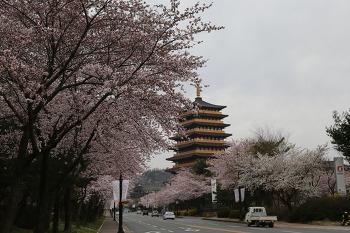 경주 보문단지. 벗꽃 만발 4월의 산책