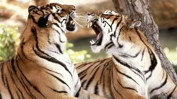 [PC 바탕화면] 호랑이(Tiger) 바탕화면