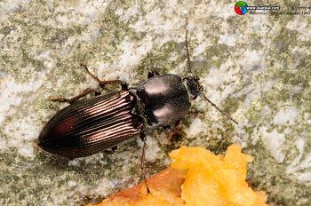 Melanotus legatus Candéze, 1860 빗살방아벌레