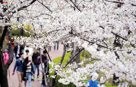 벚꽃축제가 시작됐다