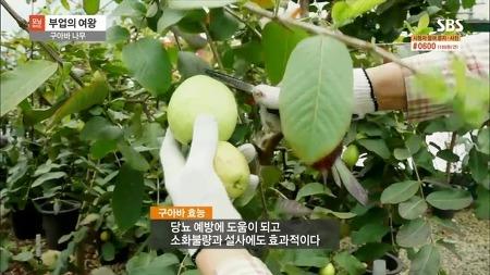 sbs 모닝와이드 제3부 이기현구아바약목원 취재 방영되었습니다.