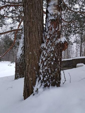 연리목 - 소나무가 자작나무 꼭 꺼안고 하늘 위로