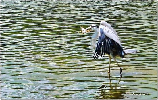 왜가리가 물고기 사냥을 성공하네요.