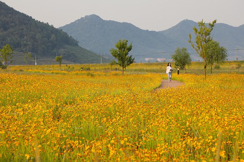 노란 금계국의 물결이 장관을 이루는 창원 북면수변생태공원!(창원명소/창원여행)