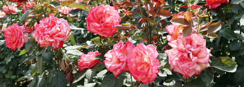 <과천 서울대공원> 장미원으로 떠나는 여름꽃 나들이!