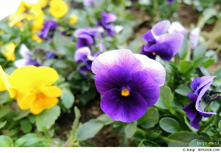 보라빛 꽃