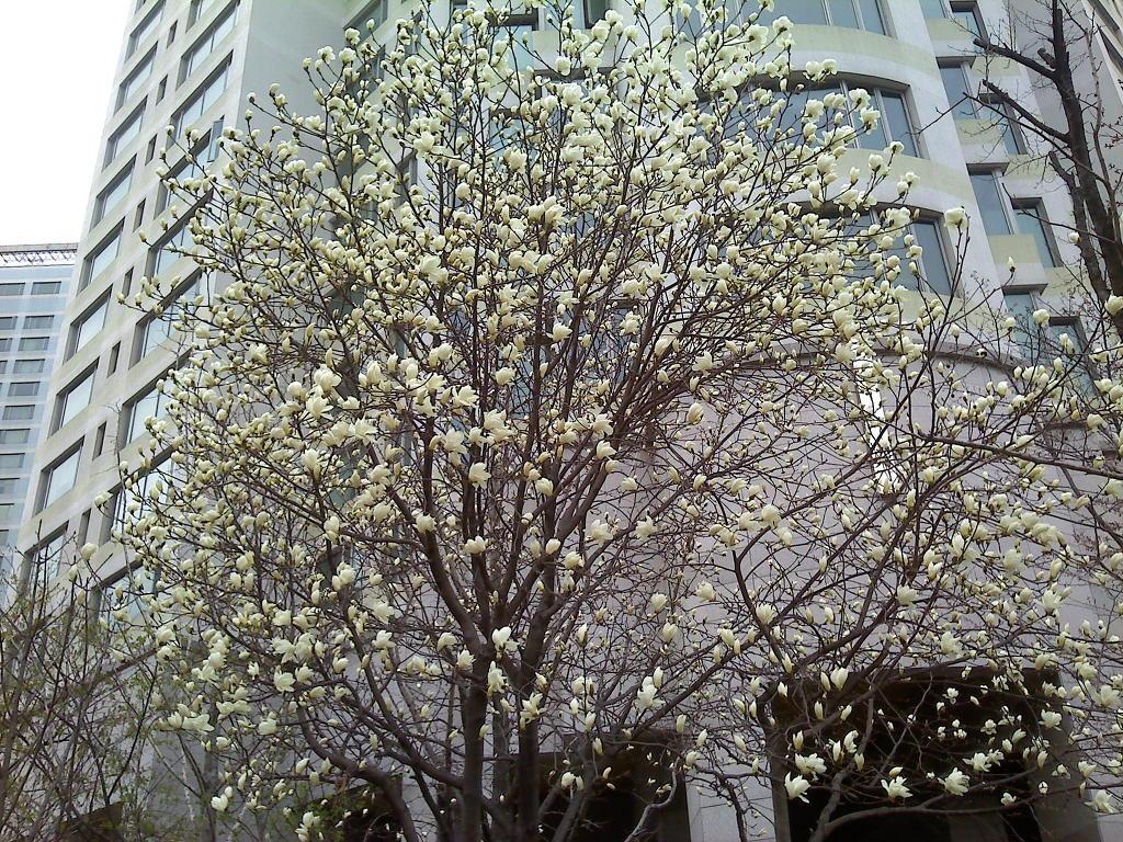 봄 꽃 : 목련