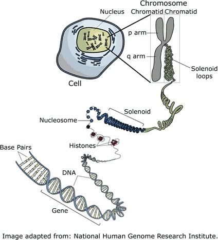 relationship between nucleosomes and histones cancer