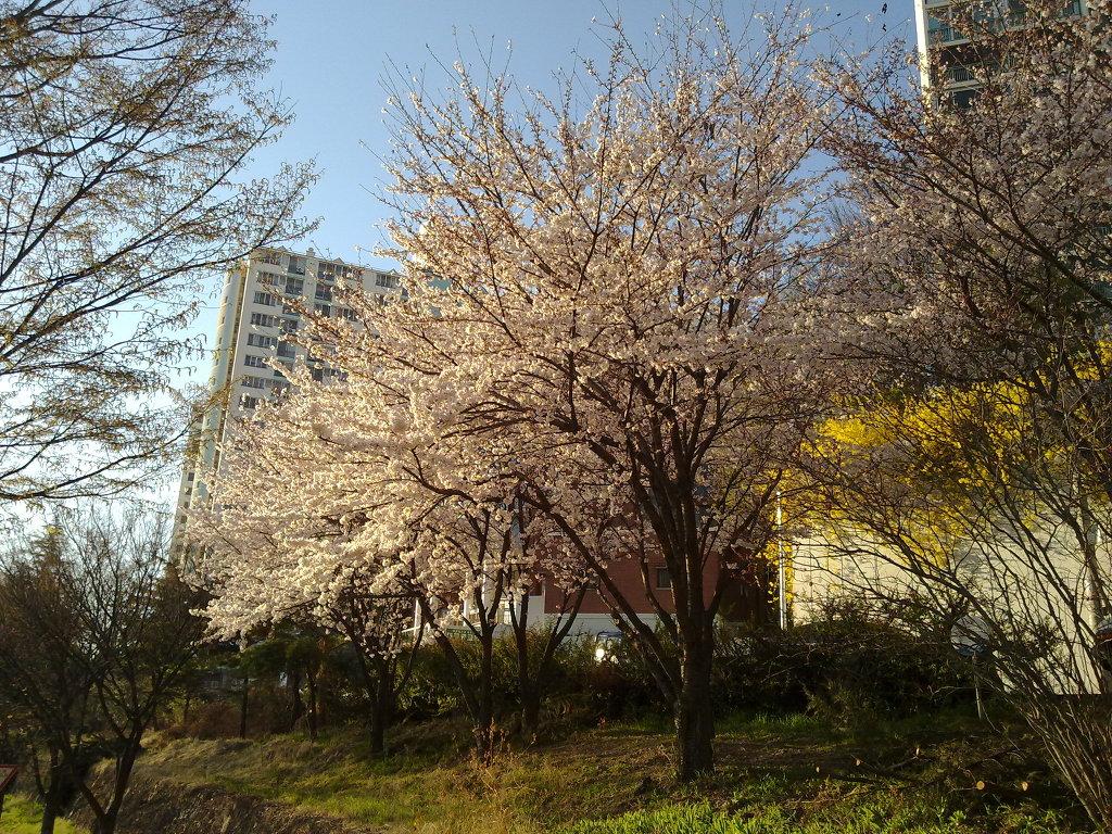 제2신천교 부근에 화려하게 핀 벚꽃 cherry blossom in Sincheungyo, Daegu by Nokia N97 mini