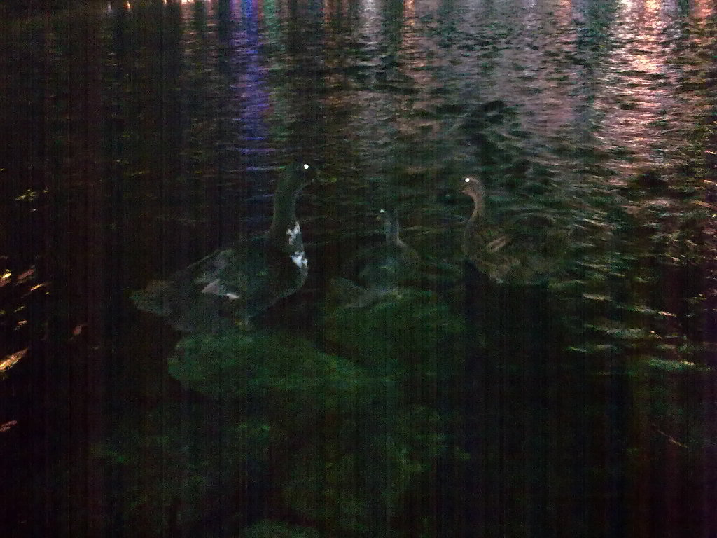 대구 신천둔치 청둥오리 가족 night shot of wild duck family at Sinchundunchi, Daegu #2