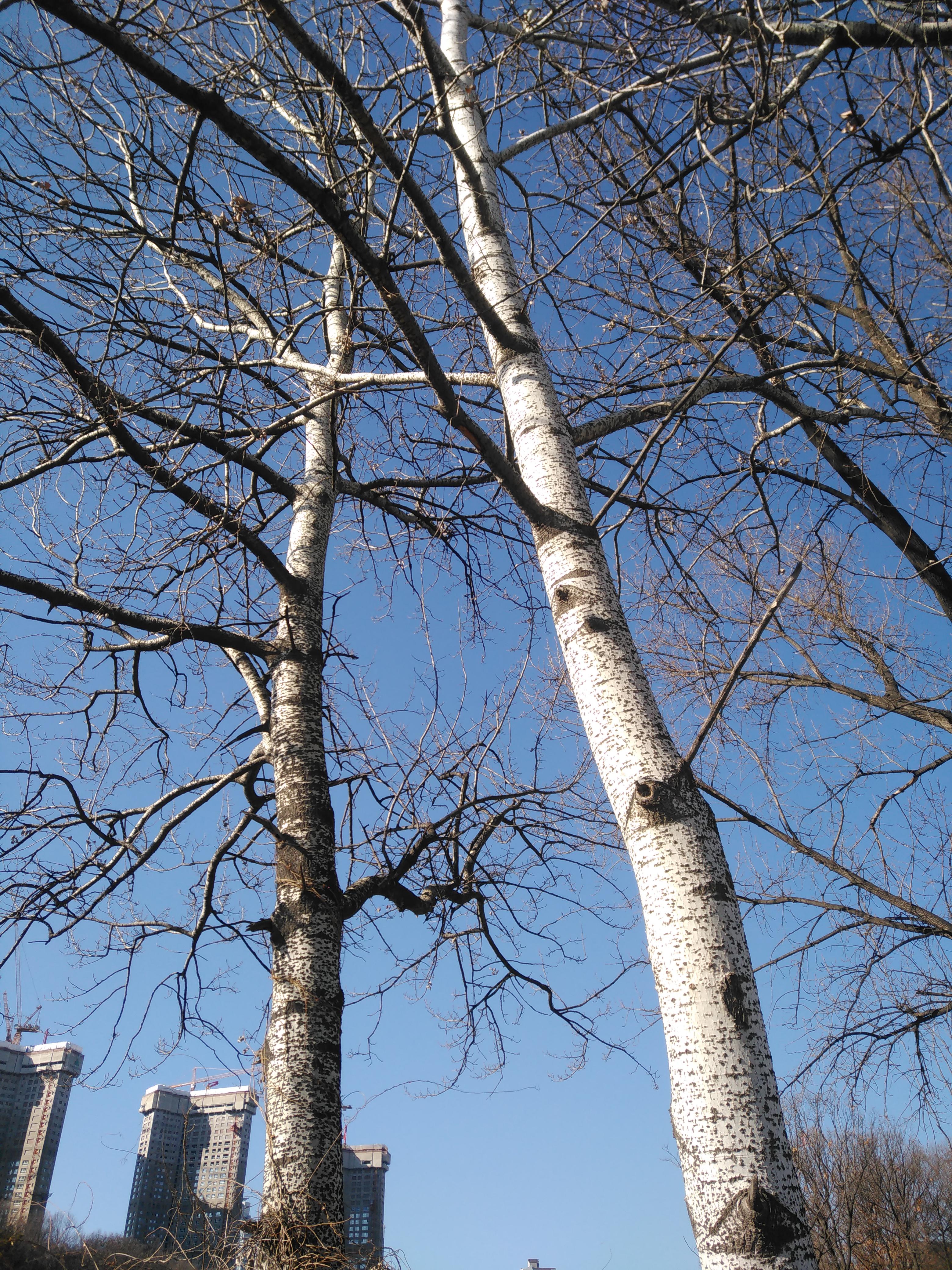 자작나무의 흰색