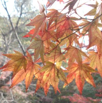 단풍나무과 단풍나무속의 낙엽교목인 고로쇠나무