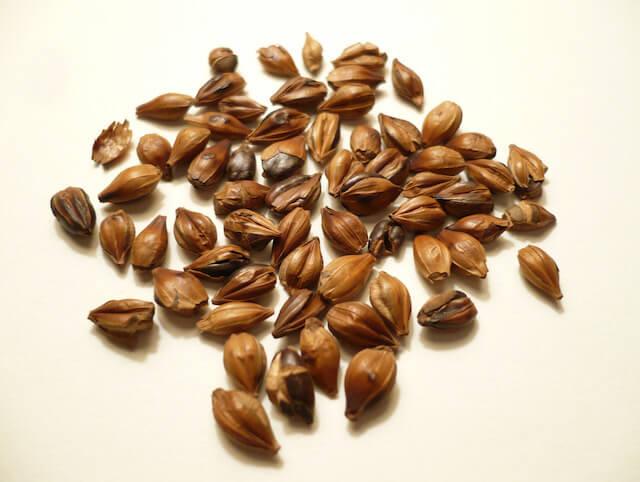 barley tea effect