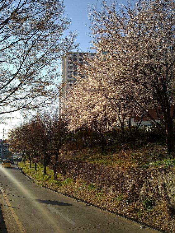 노키아 N97 미니 vs 모토롤라 마일스톤 - 제2신천교 부근에 핀 벚꽃