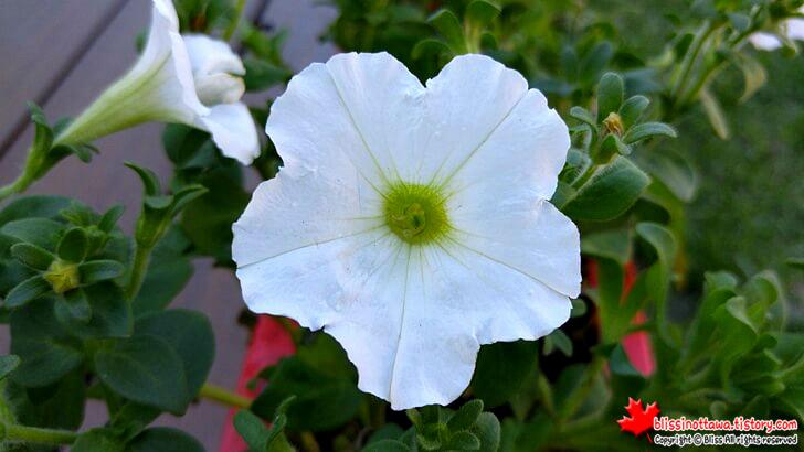 정원 꽃 피튜니아