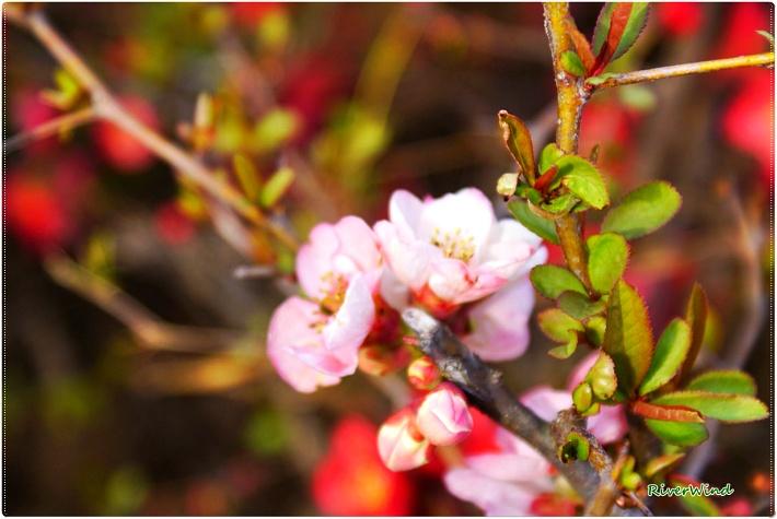 분홍색 명자나무꽃