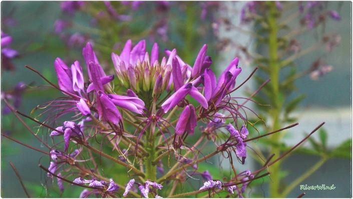 예쁜 여름꽃 풍접초(風蝶草)-족두리꽃-백화채::OmnisLog