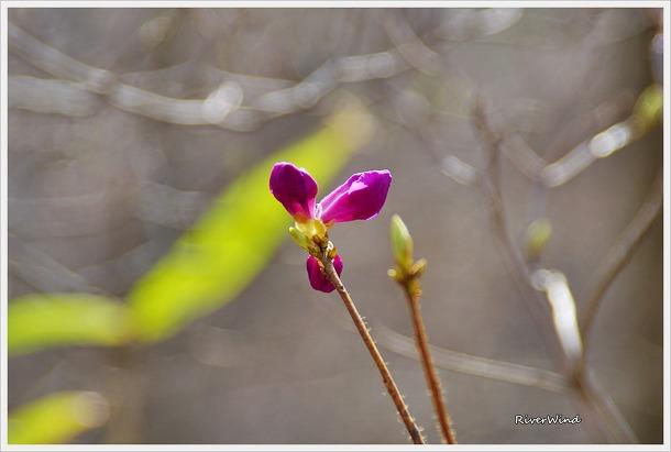 진달래꽃 두견화(杜鵑花)