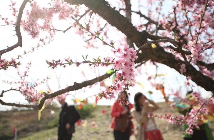 세종 조치원복숭아 봄꽃 축제 : 꽃향기와 즐길거리가 가득한 봄꽃 축제
