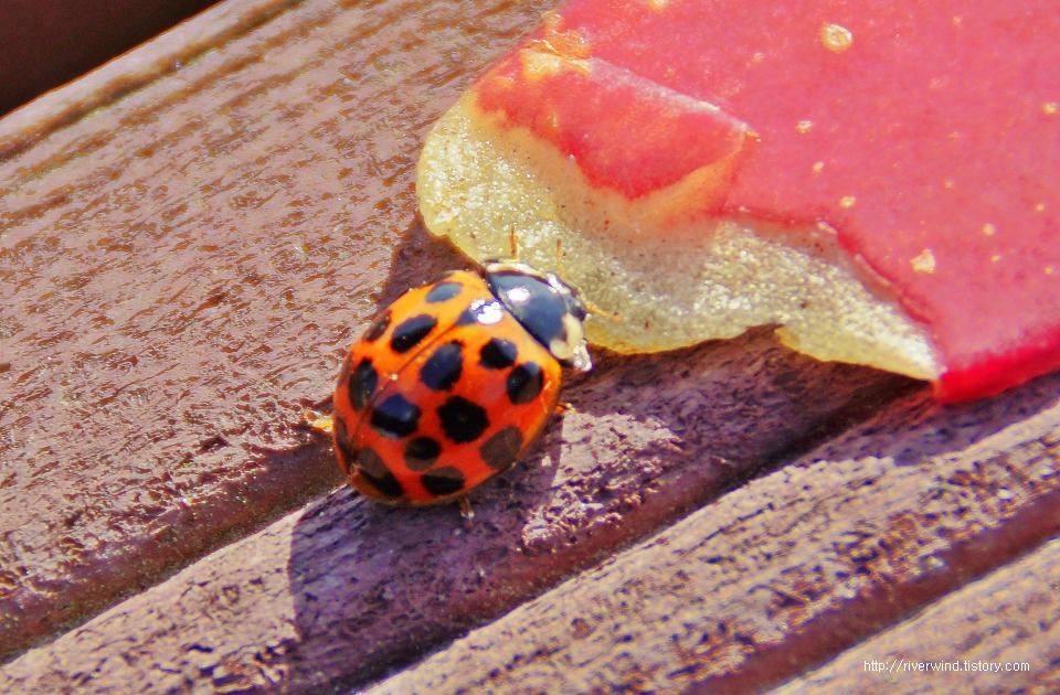 노랑딱정벌레