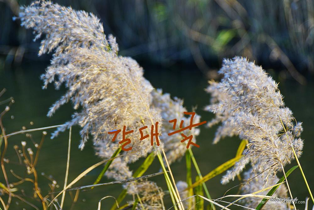 갈대꽃과 억새꽃 비교