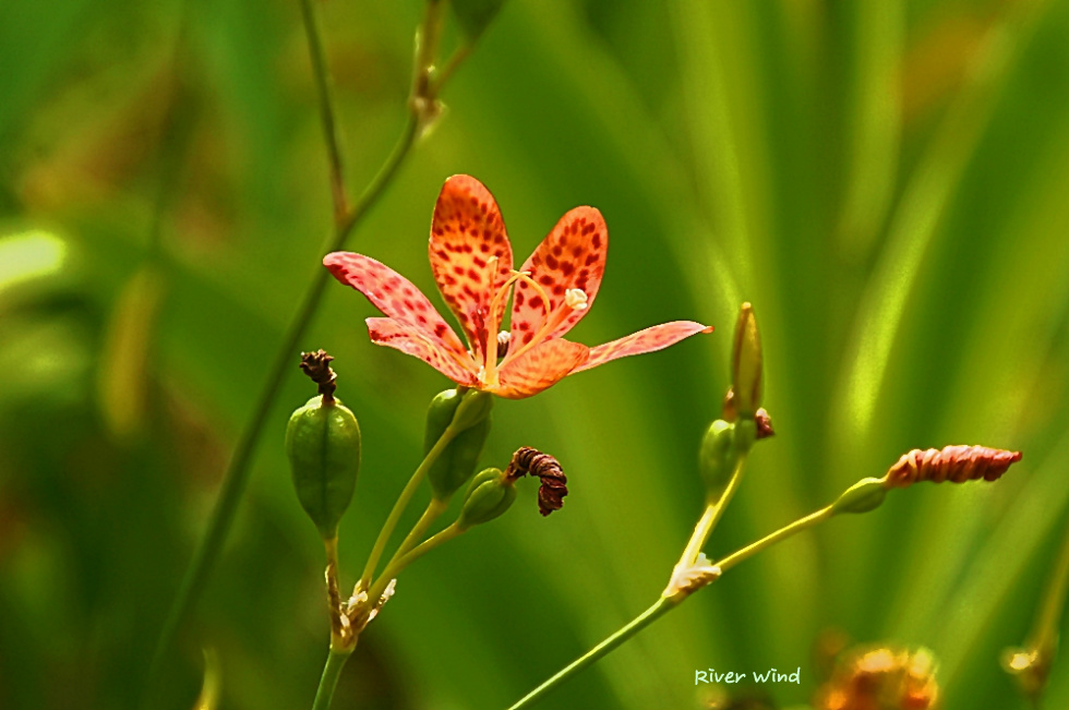아기범부채꽃-몬트브레치아