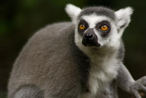 lemuria Lemuriformes