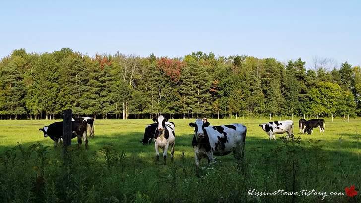 시골 젖소 목장입니다