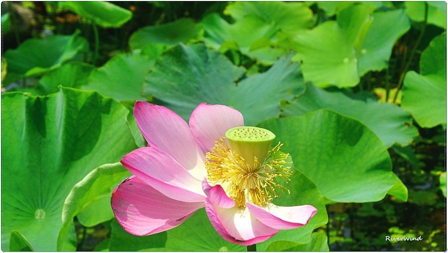 연 꽃잎과 연자