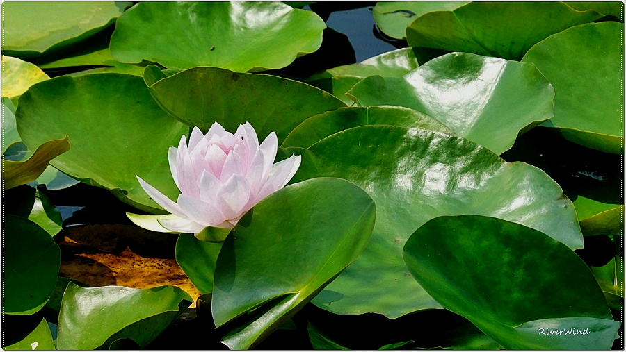 수련(睡蓮,Nymphaea,Water lily)